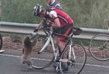 Ciclista soccorre un koala assetato